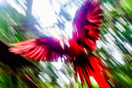 Arara vermelha - LB Fotografia